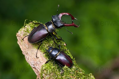 Pair of stag beetles standing on a mossy branch in summer nature