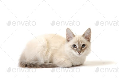 White cat on the white background