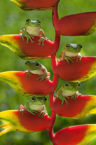 Frog Family sitting on a Heliconia