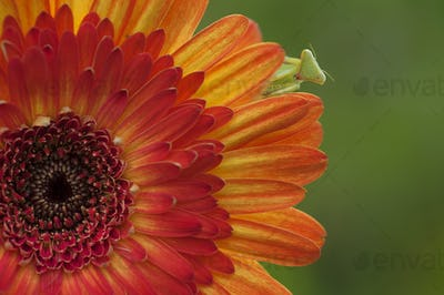 Praying Mantis or Mantis Religiosa on Orange Chrysanthemum