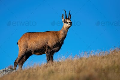 Majestic alpine chamois standing on top a hill and looking around