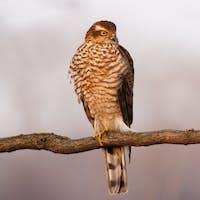 Eurasian sparrowhawk resting on branch in autumn