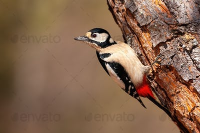 Great spotted woodpecker grasping to a diagonal tree upside down