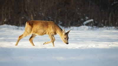 Roe deer doe walking on snow with head down and looking for food in winter