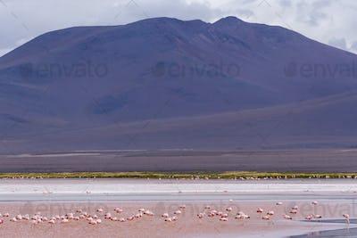 Group of flamingos in Laguna Colorada, a salt lake in the altiplano