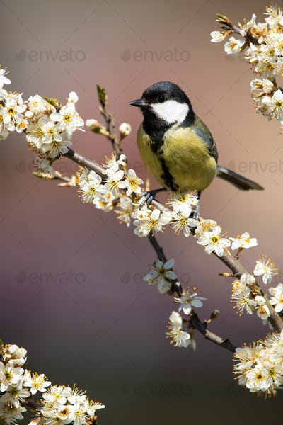 Enchanting great tit sitting on the twig full of blossoming flowers in spring