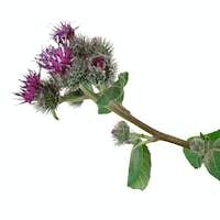 Medicinal plant: Burdock (Arctium lappa )