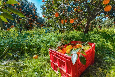 Red plastic fruit boxes full of oranges by orange trees during harvest season in Sicily