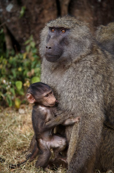 baboon in the wild, Africa