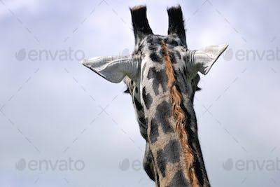 Serengeti np-455