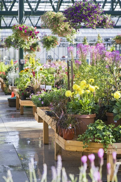 Greenhouse display with potted plants and hanging baskets over hanging baskets in garden centre..