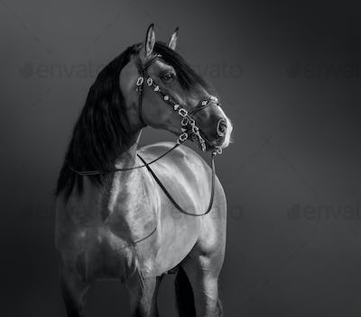 Black-and-White portrait of Andalusian Horse.