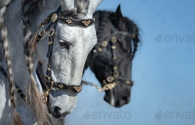 Close-up portrait of two Andalusian horses in motion.
