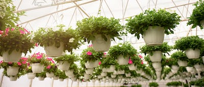 Blooming flowers in greenhouse, business on herb and interior of orangery, bottom view