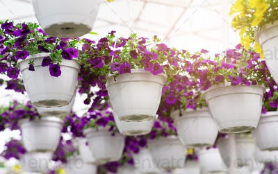 Greenhouse and plant business, flowers in flowerpots, industrial hothouse and flower nursery