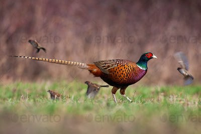 Common pheasant walking on meadow in springtime nature
