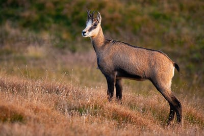 Curious tatra chamois standing on the dry alpine meadow during golden hour