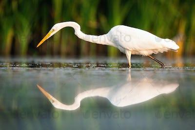 Great egret walking in wetland in summertime nature