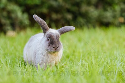 A Lop Rabbit Outside in Long Grass