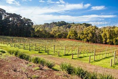 Dormant Vines During Winter in Australia