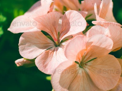 Geranium pink flower macro shot