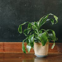 Potted dracaena on wooden shelf with black wall background with copyspace
