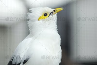 White Myna Bird