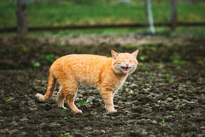 Meowing Red Ginger Cat At Spring Day