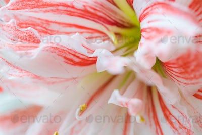 Striped Barbados lily close up