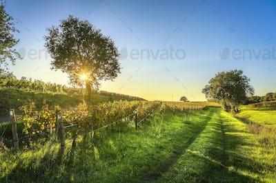 Bolgheri vineyard, trees and road. Maremma Tuscany, Italy