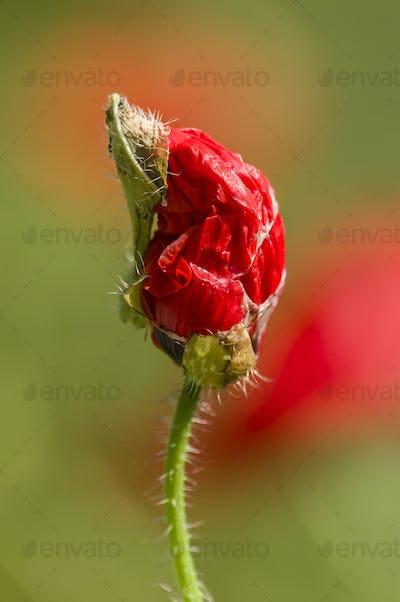 Red Poppy flower bud