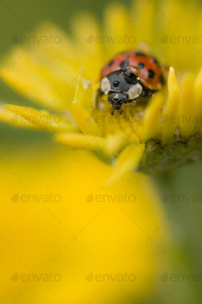Ladybug with dew drop