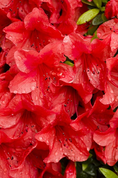Red azalea flowers