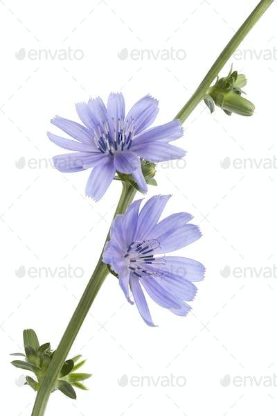 Fresh blue flowering chicory