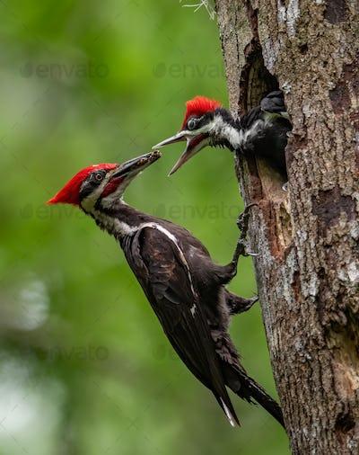 Pileated Woodpecker Portrait