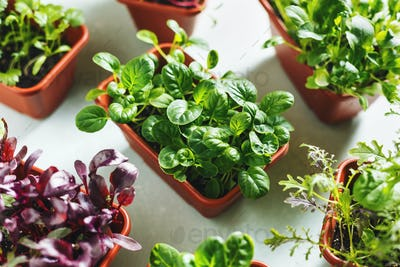 Various young organic greens in containers
