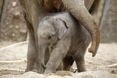 Cute young Asian elephant
