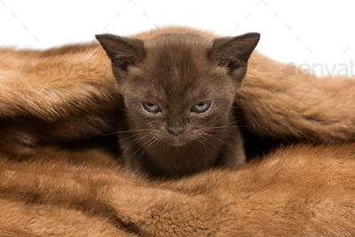 Small kitten of the European Burmese  in a mink coat