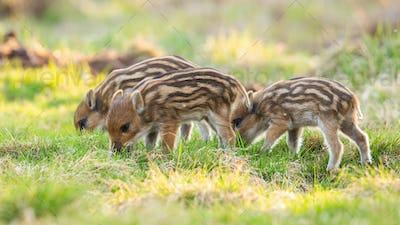 Little wild boar piglets feeding on meadow in springtime nature