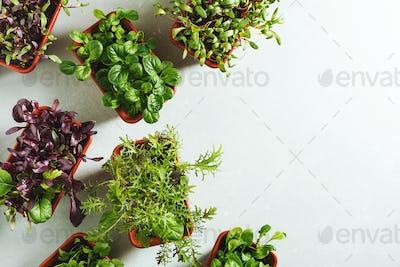 Various fresh micro greens