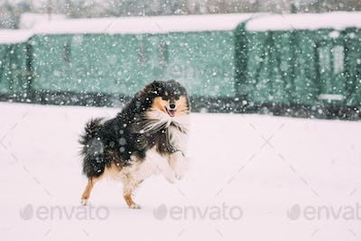Funny Shetland Sheepdog, Sheltie, Collie Dog Playing And Fast Running Outdoor In Snow, Snowdrift