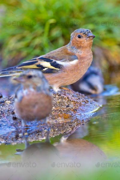 Chaffinch, Forest Pond, Mediterranean Forest, Spain