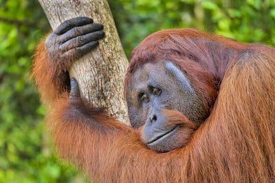 Orangutan, Tanjung Puting National Park, Indonesia