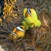 Red Sea Clownfish, Red Sea, Egypt
