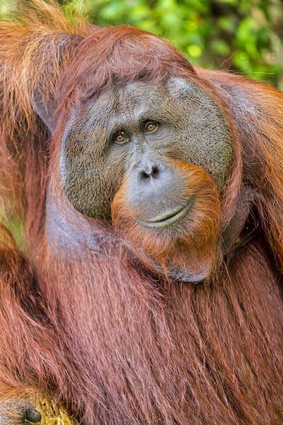 Orangutan,Tanjung Puting National Park, Borneo