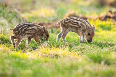 Little wild boar piglets grazing on grassland in springtime