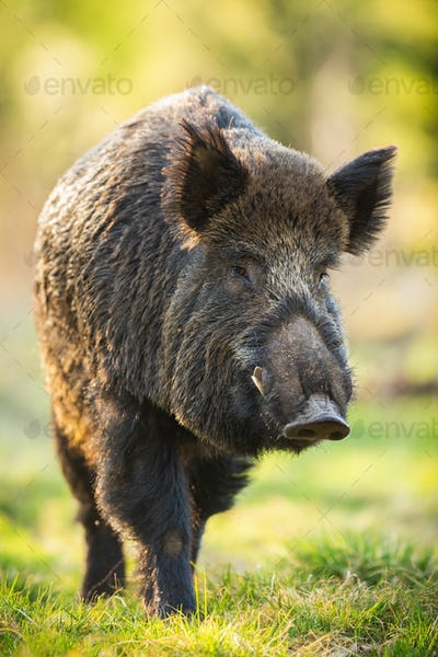 Wild boar male moving forward on meadow in springtime nature