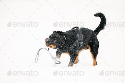 Black Rottweiler Metzgerhund Dog Shaking Head During Winter Walk In Winter Day. Dog Is Dressed In A