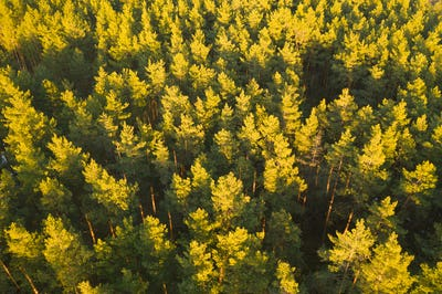 Aerial View Of Green Pine Coniferous Forest In Landscape
