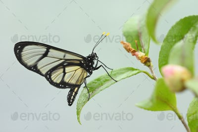 Tropical glasswing butterfly among pink and yellow camellia flowers.